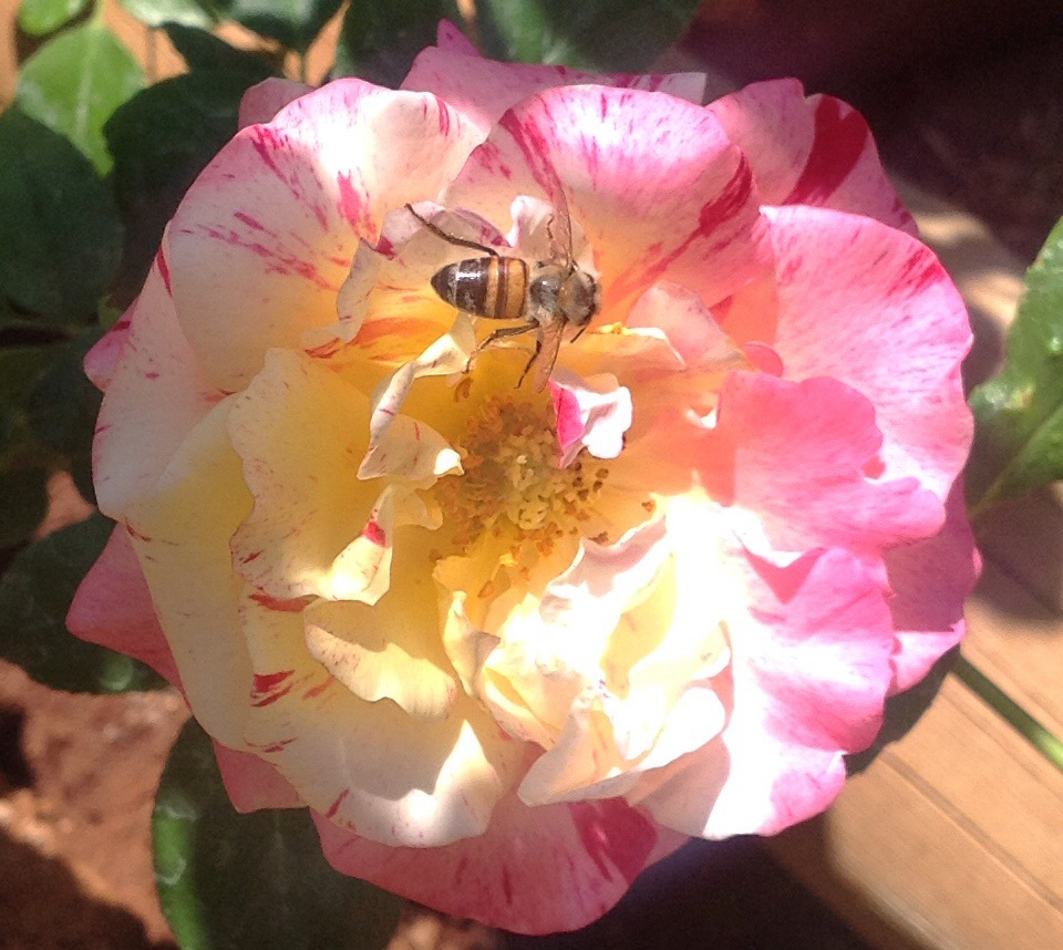 Bee on Camille Pissarro rose