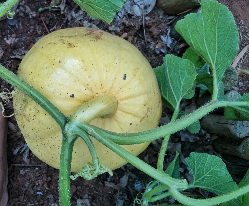 Real Cinderella stuff: Pumpkin B came out of nowhere & replaced A as the biggest one in just a week.