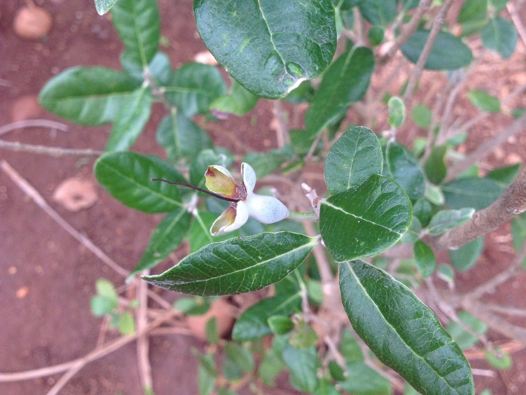 Feijoa fruit and leaves