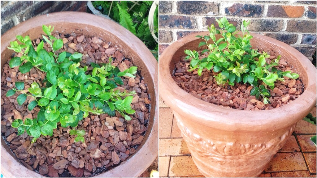 Finished repotted blueberries with pine bark