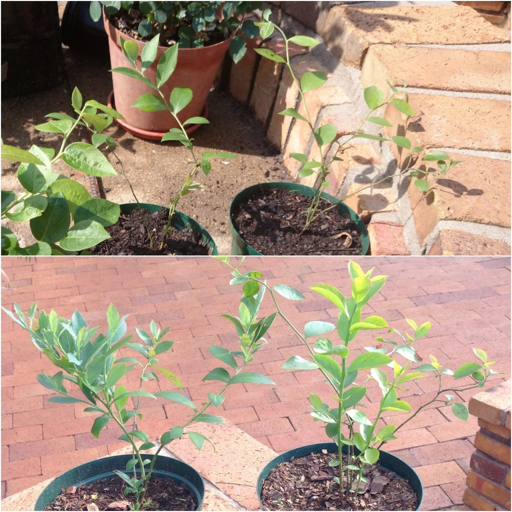 Brightwell blueberry on the left and Tifblue on the right, showing growth between November 2014 & Jan 2015.