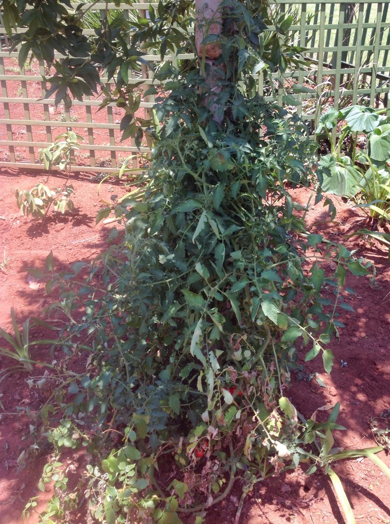 Volunteer Cherry tomato