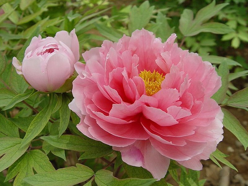 Paeonia suffruticosa,  image by user Aberlin, courtesy of Wikimedia Commons.