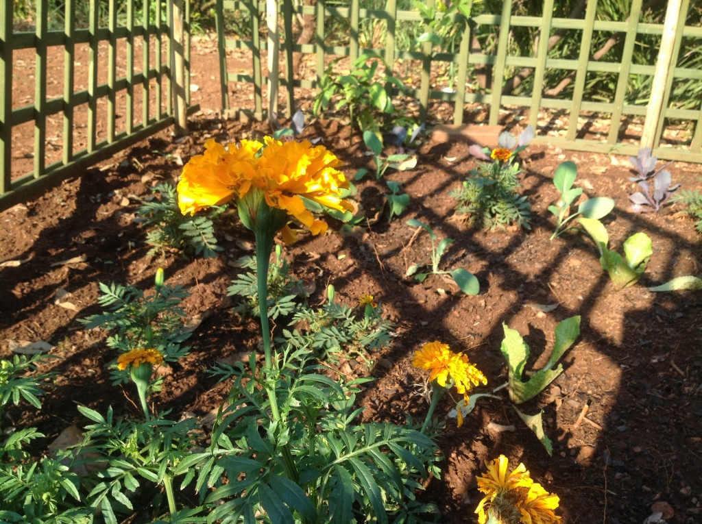Marigolds in fenced off square foot garden South Africa