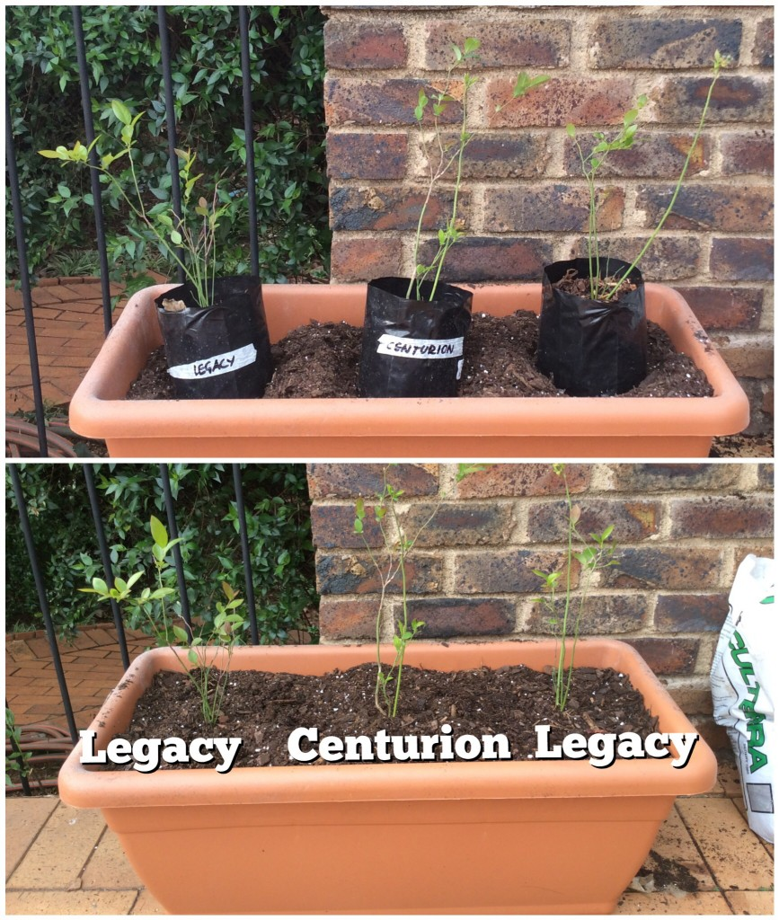 Legacy and centurion blueberries in container