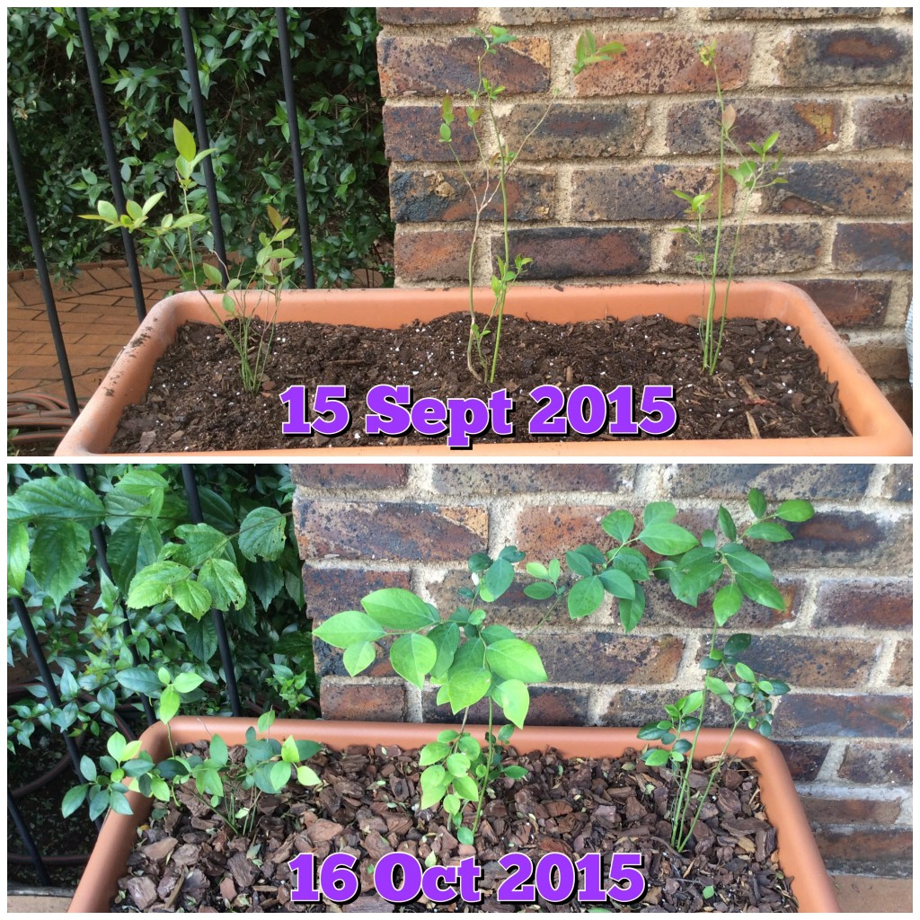 Growing Centurion and Legacy blueberries in South Africa