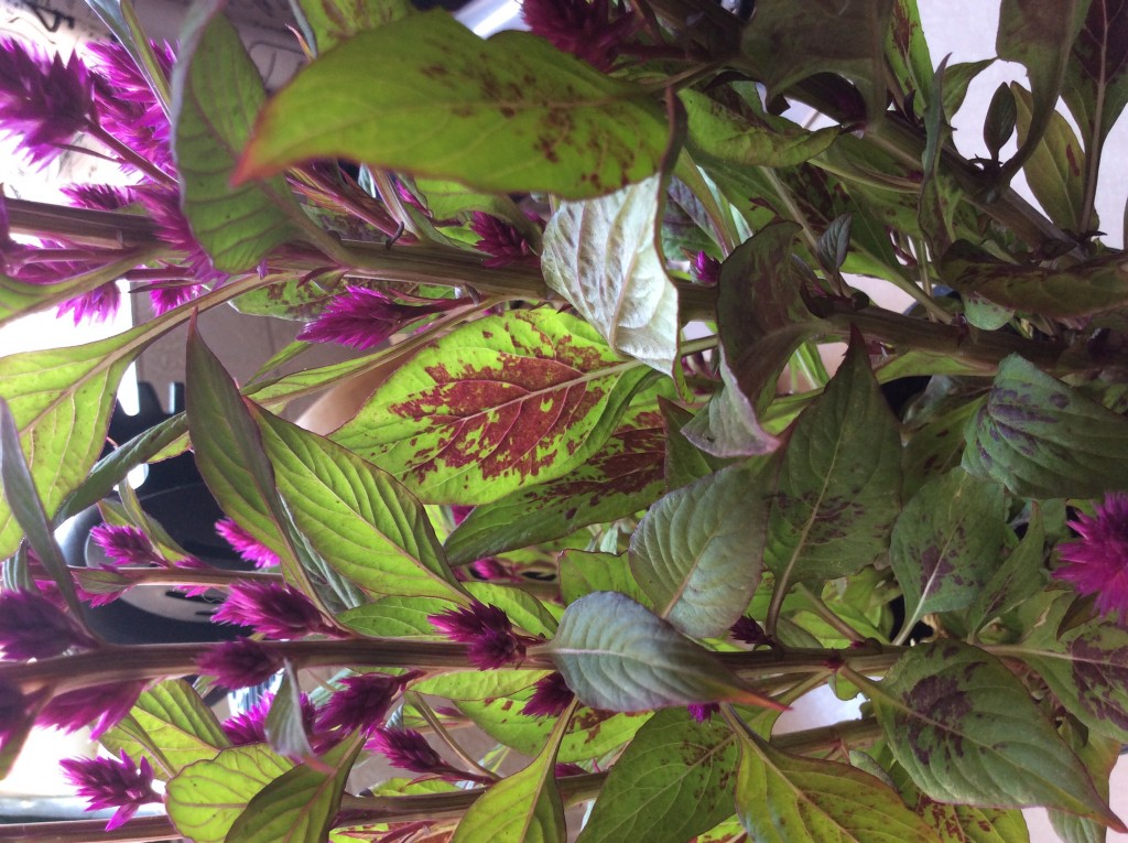 Plant needed needed purple tuft amaranthus